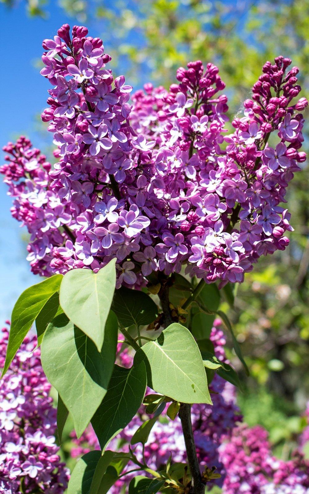 lilacs, spring in boston ma; spring in boston; spring flowers in boston, ma; spring boston things to do