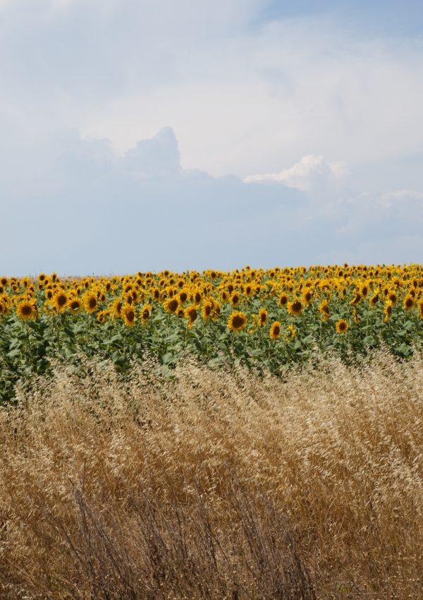 5 Sunflower Fields to Visit in Massachusetts this September