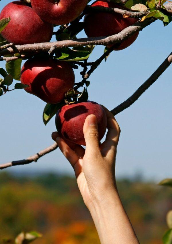 best apple picking new england